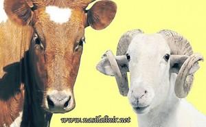 kurbanlik hayvanlar